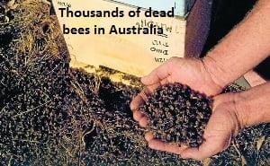 Dead Bees in Australia