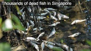 Dead fish in Singapore