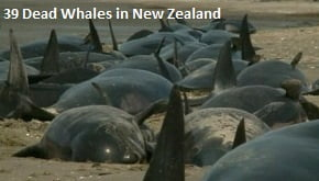 Dead Whales in New Zealand