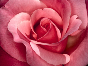 rose-picture