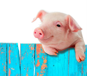 PIG-Suppressed-Evidence-Connects-GMO-Feed-to-Sterile-Livestock