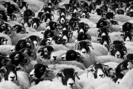 Sheeple-Public-Domain-460x306
