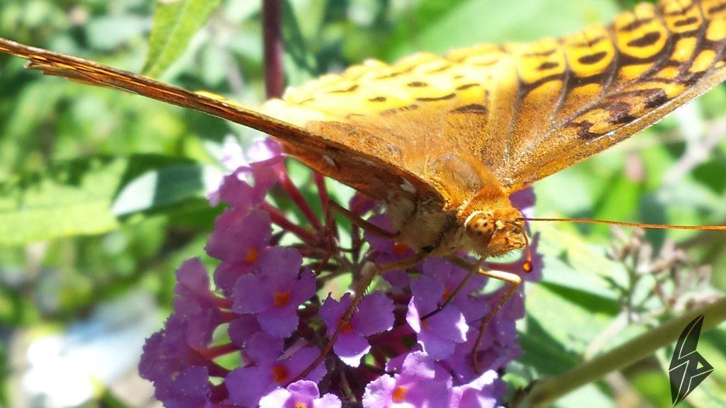 ButterflySharpePixelsCapture