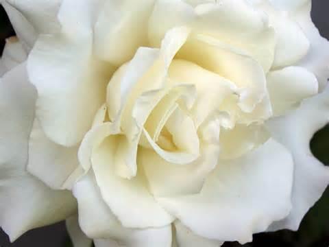 whiterosewallpaper