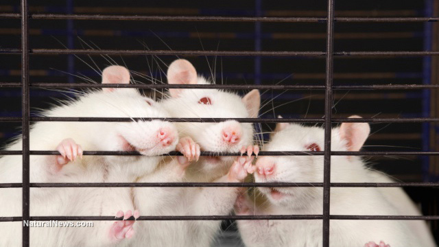 rats-mice-cage-experiment-lab