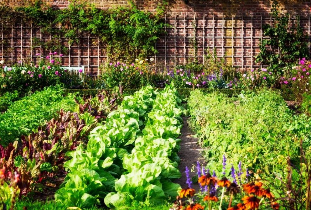 Rows of vegetables in garden