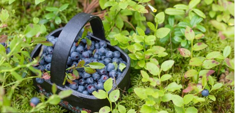 basket of wild blueberries